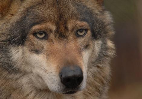 Wolf_2_470X330